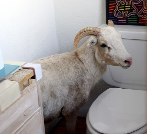 Goat in toilet